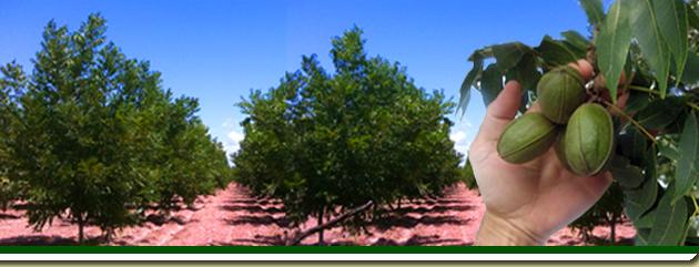 Viveros esparza for Viveros de arboles frutales en chihuahua